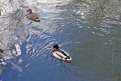 Natación femenina y masculina del pato en el río imagen de archivo