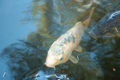 Natación grande de los pescados en agua Foto de archivo libre de regalías