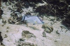 Natación grande del hogfish Imágenes de archivo libres de regalías