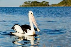 Natación grande del pelícano en el lago Fotografía de archivo libre de regalías