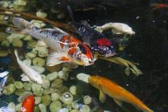 Natación grande en agua, visión superior de la carpa de Koi foto de archivo libre de regalías