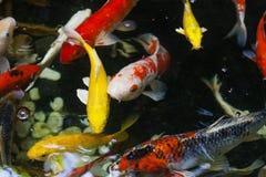 Natación grande en agua, visión superior de la carpa de Koi imagen de archivo libre de regalías