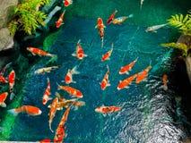 Natación hermosa de los pescados del koi en pong en un pequeño río, charca rodeada por los arbustos verdes en el jardín japonés A fotos de archivo