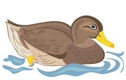 Natación hermosa del pato Fotografía de archivo