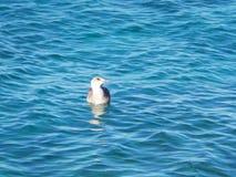 Natación joven de la gaviota en el mar imagen de archivo libre de regalías