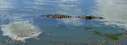 Natación joven del cocodrilo del Nilo Foto de archivo libre de regalías