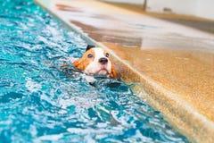 Natación linda del beagle del perrito Fotografía de archivo libre de regalías
