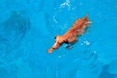 Natación marrón feliz linda del perro en agua azul Mar Rojo Playa y mar soleados con paisaje del agua profunda Resto del día en l fotografía de archivo libre de regalías