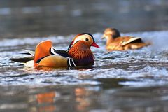 Natación masculina del galericulata del Aix del pato de mandarín del primer en el agua con la reflexión Un pájaro hermoso que viv fotografía de archivo libre de regalías