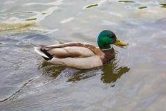 Natación masculina del pato silvestre en la charca Fotografía de archivo libre de regalías
