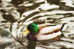 Natación masculina del pato del pato silvestre en una charca fotografía de archivo