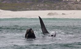 Natación meridional de la ballena derecha cerca de Hermanus, Western Cape Viñedo famoso de Kanonkop cerca de las montañas pintore imagen de archivo libre de regalías