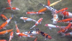 Natación multicolora de los pescados de Koi agraciada en un agua de un jardín Vietnam metrajes