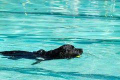 Natación negra de Labrador Imagenes de archivo