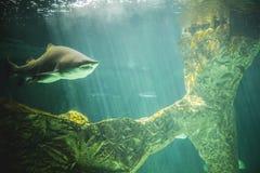 Natación peligrosa y enorme del tiburón debajo del mar imagen de archivo