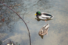 Natación preciosa de los pares de los patos en el lago foto de archivo libre de regalías