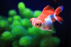 Natación roja del pez de colores Fotos de archivo libres de regalías