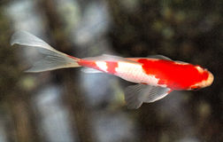Natación roja y blanca 2 de los pescados de Coi imagen de archivo