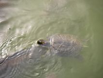 natación Rojo-espigada del resbalador Animal salvaje de la vida imagen de archivo libre de regalías
