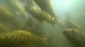Natación salvaje de la carpa debajo del agua metrajes