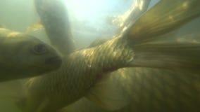 Natación salvaje de la carpa debajo del agua almacen de metraje de vídeo