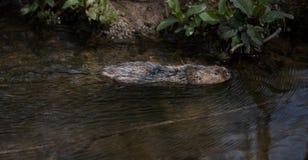 Natación salvaje del campañol de agua imágenes de archivo libres de regalías