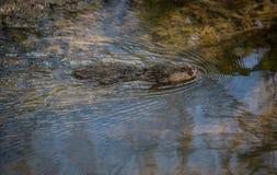 Natación salvaje del campañol de agua en agua libre foto de archivo