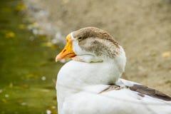 Natación salvaje del ganso en la charca fotos de archivo libres de regalías