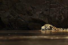 Natación salvaje del jaguar Imagenes de archivo