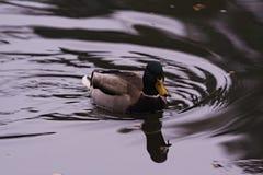 Natación salvaje del pato del pato silvestre imágenes de archivo libres de regalías