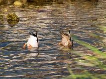 Natación sincronizada de dos patos agradables fotografía de archivo libre de regalías