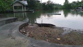 Natación tailandesa del lagarto de monitor de agua en la charca, salvator del Varanus metrajes