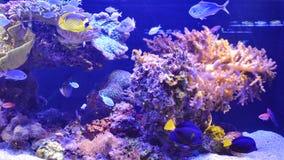 Natación tropical de los pescados en acuario