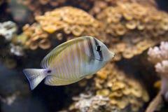 Natación tropical de los pescados en un tanque foto de archivo