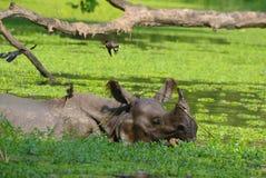 Natación uno-de cuernos india o mayor del rinoceronte fotos de archivo libres de regalías