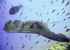 Natación veteada en el agua azul del océano, el Océano Índico, Maldivas de la pastinaca Imagenes de archivo