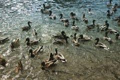 Natación y patos de salto Fotografía de archivo libre de regalías