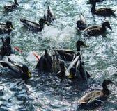 Natación y patos de salto Imagen de archivo libre de regalías