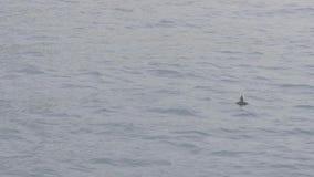 Natación y salto del arctica del Fratercula para los pescados de la captura en agua del océano almacen de metraje de vídeo