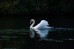 Nataci?n del cisne en un lago imagen de archivo
