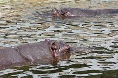 Natación de dos hipopótamos en agua Foto de archivo libre de regalías