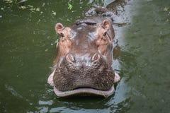 Natación del hipopótamo en agua Imagenes de archivo