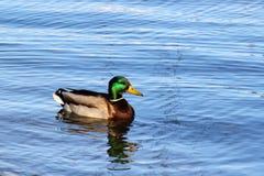 Natación del pato en la charca Imágenes de archivo libres de regalías