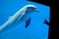 Natación en acuario, el señalar del delfín de la mano Imagenes de archivo