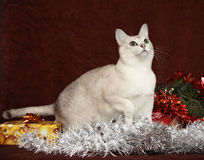 Natal agradável Burmilla na frente dos presentes Foto de Stock Royalty Free