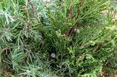 Natal botânico de madeira do feriado do dia ensolarado da manhã verde do Thuja fotografia de stock royalty free
