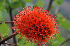 Natal bottlebrush Royalty Free Stock Photos