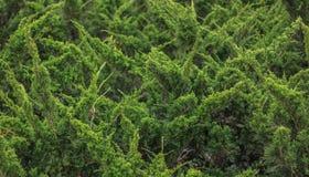 Natal de Cypress imagem de stock royalty free