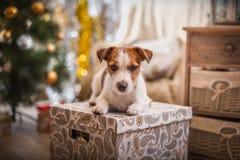 Natal do cão, ano novo, Jack Russell Terrier Fotografia de Stock Royalty Free