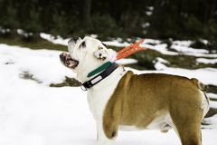 Natal do cão de Bull imagem de stock